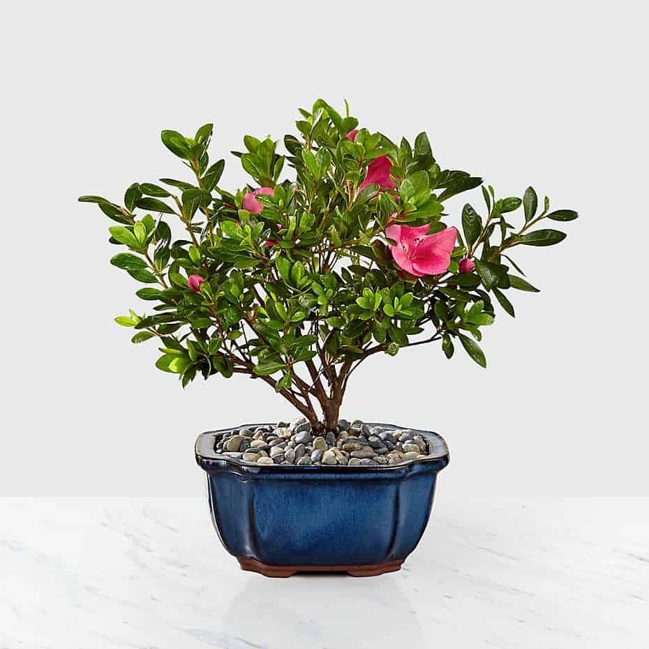 Blooming Azalea Bonsai - 8 inch