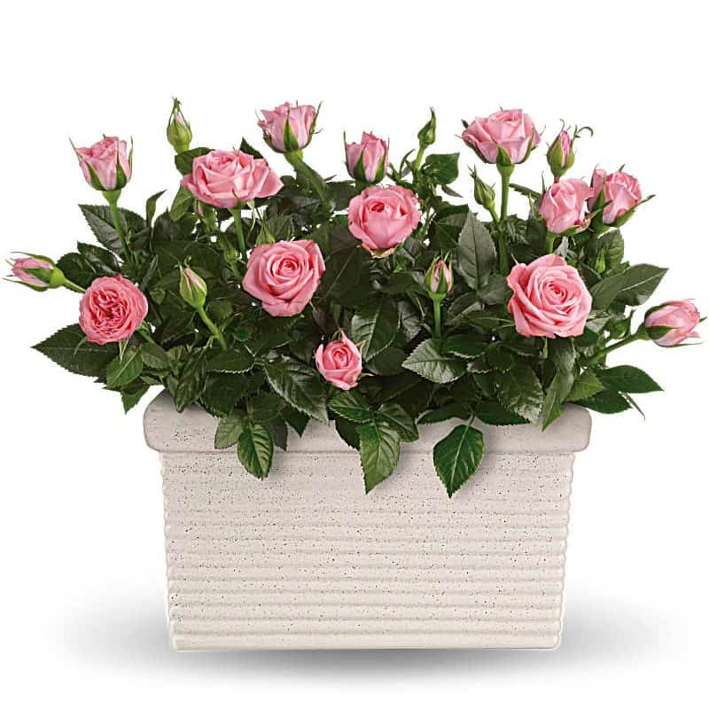 Rose Potted Plant