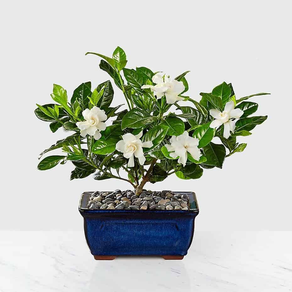 Blossoming Abundance Gardenia Bonsai 8 inch