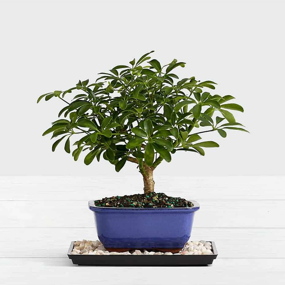 Dwarf Hawaiian Umbrella Tree Bonsai By Broadwaybasketeers Com