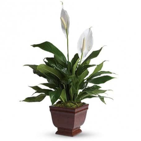 Spathiphyllum Plant Gift