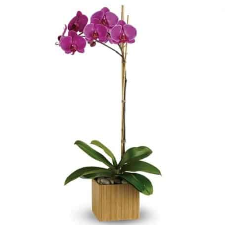 Imperial Purple Orchid